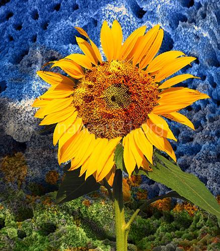 Eva Lewarne - Sunflower on Venus